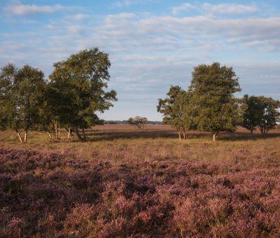 Heide im Bargerveen